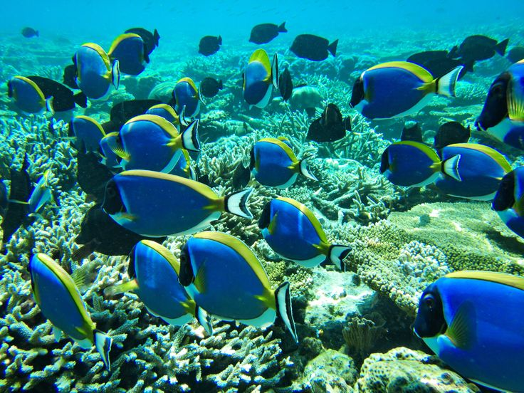 30 ottobre 2013: Vakarufalhi, Maldive. Seguiamo i pesci chirurgo?
