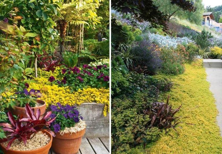 plantes couvre sol: Lysimachia nummularia ou herbe aux écus
