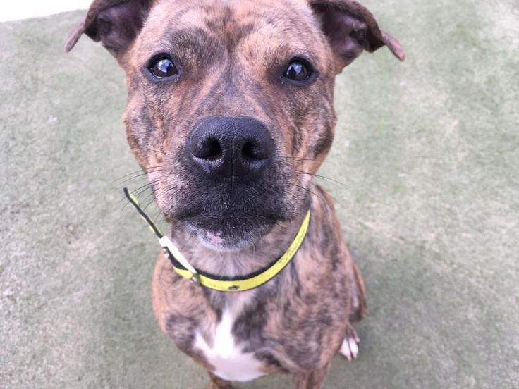 Star is a super cute 1 year old brindle Staffie Cross looking forward to finding her forever family. If you enjoy an active lifestyle and would like a great companion for all of your adventures, Star could be the girl for you. @dogstrust #rehomeadog