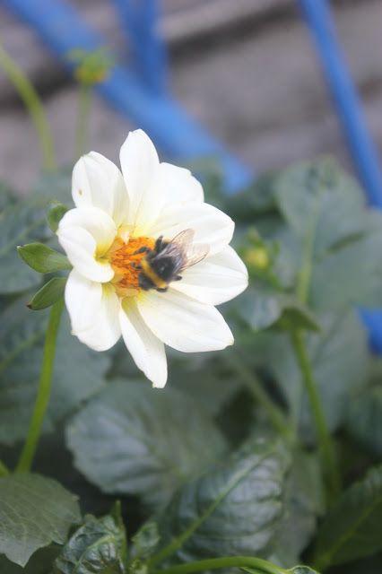 Dahlia and pollinator