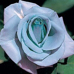 Blue Girl Hybrid Tea Rose Unique Color In Roses Fully double flowers with 35 to 40 petals—all a rare shade of lavender-blue.