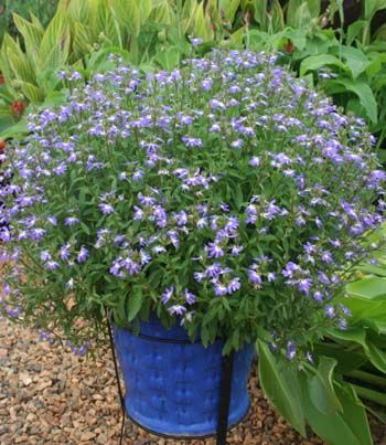 best Australian natives for small gardens from Gardening With Angus