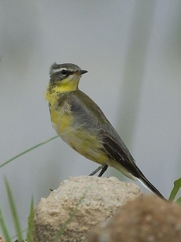 Yellow Wagtail _ Punggol   by mahi mahi 163