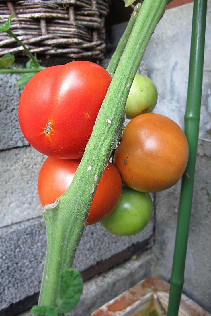 Moois van ' M(i)e': tomaten kweken in pot : zo doe je dat ...