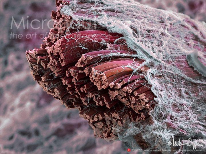 ©-Micronaut-Mammalian-Muscle-Fibers-001b11-720x540.jpg (720×540)