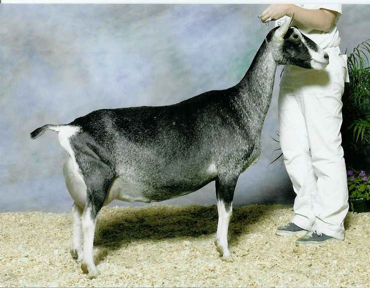 Sable goats | SS: ++*B Thunder Run's Irish Justice | Dairy ...