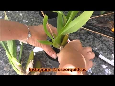 Plantando sua Orquídea - Sem mistério