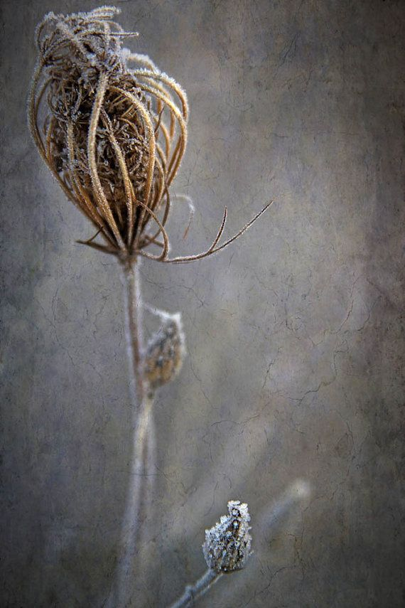 queen annes lace nature photography fine art by judeMcConkeyPhotos, $35.00
