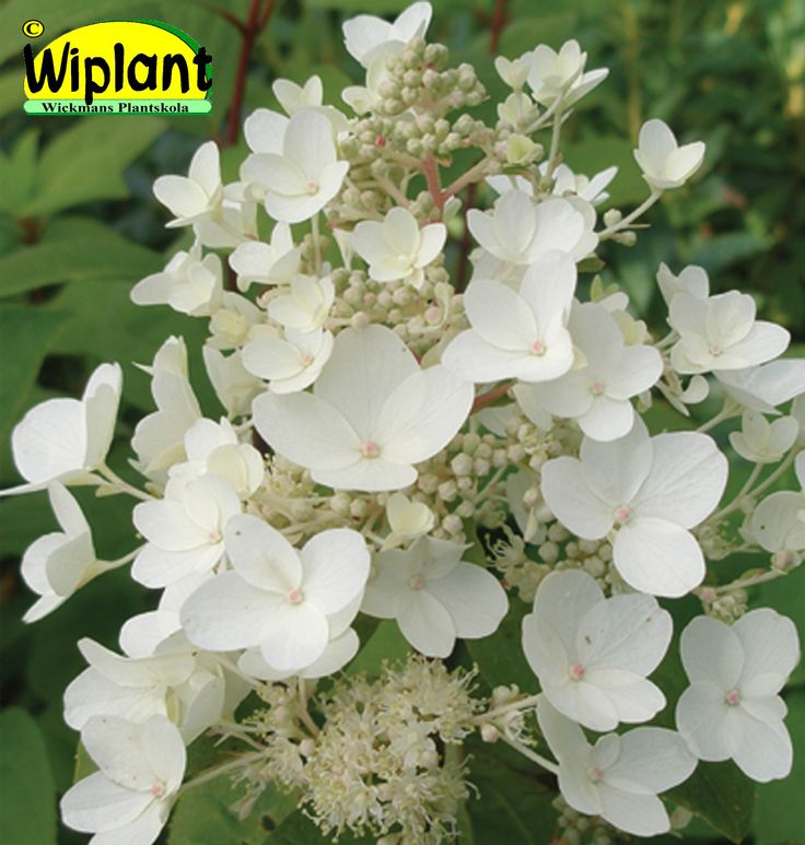 Hydrangea pan. 'Ammarin', syrenhortensia. Nyhet! Stora vita blommor, rätt tidig. Stadig växt. Höjd: 2 m.