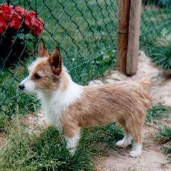 Portuguese Podengo photo | Portuguese Podengo Puppies For Sale - Puppy Breeders https://pagez.com/3532/33-facts-about-dogs
