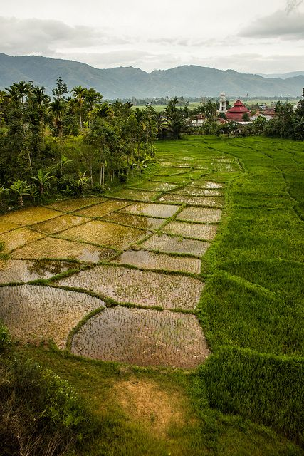 Padi field, Kerinci. Photo by Luke Mackin on Flickr