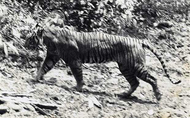 Javan Tiger - Extinct