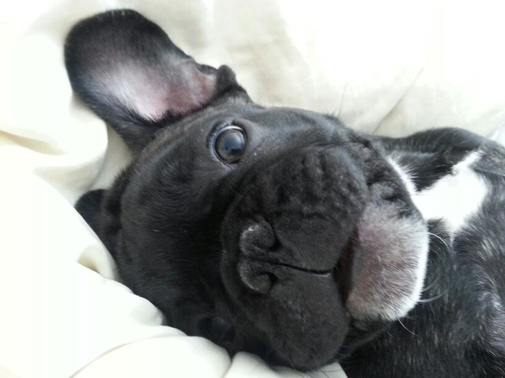 Cute Good Morning In French : Good morning frenchie french bulldog so cute it