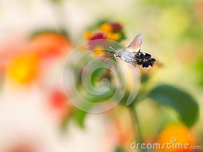 Download Sphingidae Stock Photo for free or as low as 6.86 руб.. New users enjoy 60% OFF. 20,448,455 high-resolution stock photos and vector illustrations. Image: 36124330