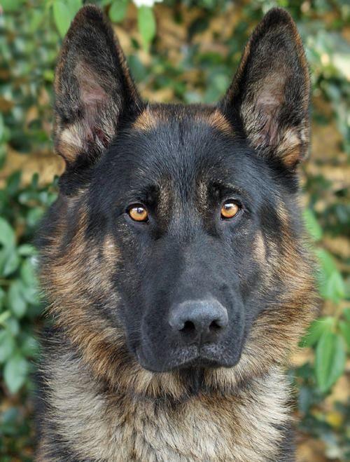 Apollo von Ablar from Westside German Shepherd Rescue of Los Angeles