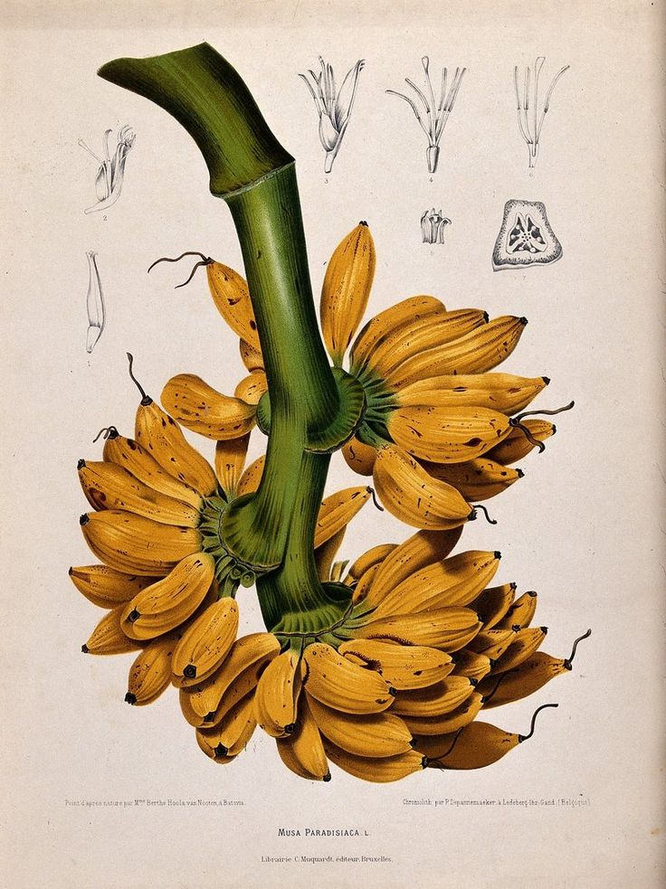 For decades, the Gros Michel banana was the standard in the United States and across the world.