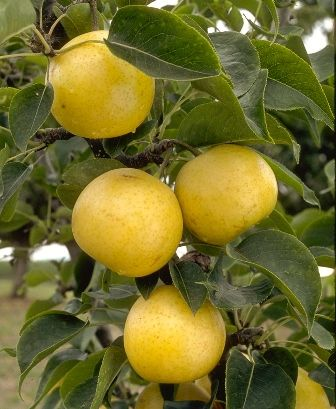 20th Century Asian Pear Tree, An all time favorite. Ripens late July to mid-Aug. 400-500 chill hours. Zones 6-9.