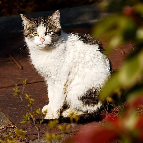 第3位 チョロ松(浅間温泉 錦の湯 地本屋)全国の宿・ホテルの看板猫