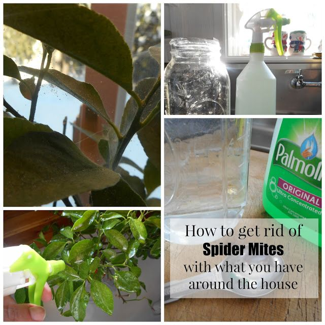Getting rid of Spider Mites with every day items you have around the house ● Then apply homemade insecticidal soap using the following ingredients you  have around the house.  Homemade Insecticidal Soap. Shake well then add to sprayer. 1/2 gallon of Luke warm water 1 TB. Dish Detergent 1/2 TB. Olive Oil 1/2 TB Rubbing Alcohol