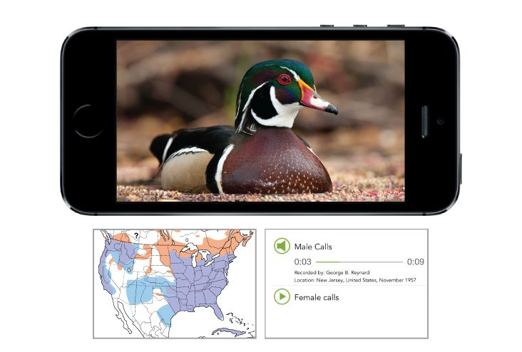 Bird ID Wizard—Step-by-step Answer five simple questions about a bird you are trying to identify and Merlin will come up with a list of possible matches. Merlin offers quick identification help for beginning and intermediate bird watchers to learn about North America's most common birds!