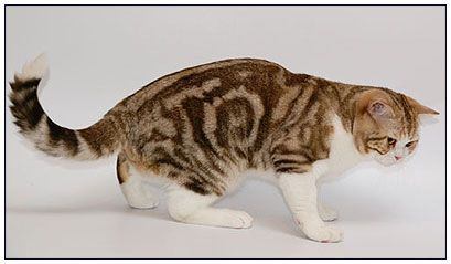 British shorthair cat, chocolate classic tabby with white