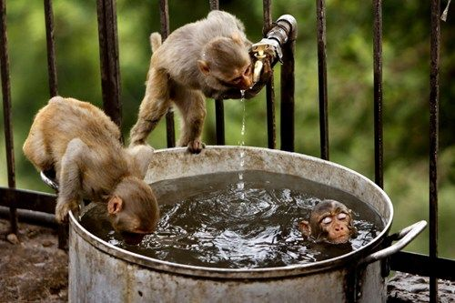 Bitches should just get in the pot like me...: Funny Animal Pics, Swim Pools, Hot Summer Day, India, Hot Day, Barrels Of Monkey, Photo, Drinks Water, Bath Time