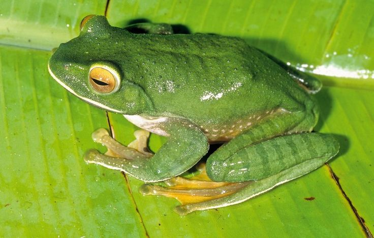 White-Lipped Bright-Eyed Frog - Boophis albilabris - Threatened by habitat loss, this frog of the family Mantellidae is endemic to Madagascar. Tropical or subtropical moist lowland forests, tropical or subtropical moist montane forests, rivers, intermittent rivers and and heavily degraded former forests are its natural habitats - Image : © Miguel Vences and Frank Glaw - 2008