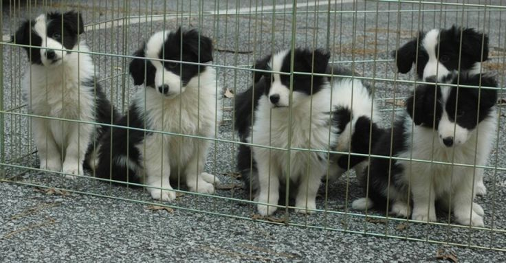 This article is written for the border collie puppy buyer seeking a pet or companion puppy. It outlines the unique issues you should consider in choosing and training your new family member.