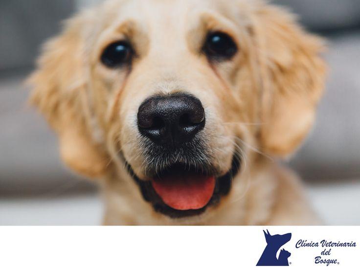El pelaje de tu mascota. LA MEJOR CLÍNICA VETERINARIA DE MÉXICO. ¿Sabías que el alimento que consume tu mascota influye en su pelaje? Tanto en la alimentación de perros como en la alimentación de gatos, una dieta baja en cereales, rica en proteína animal y aceite omega 3, ayudará a que el pelo de tu mascota crezca mucho más fuerte. En Clínica Veterinaria del Bosque contamos con médicos expertos para atender a tu mascota. #veterinariadelbosque