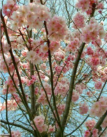 88 best trees images on pinterest prunus plants and shrubs. Black Bedroom Furniture Sets. Home Design Ideas