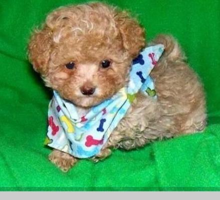 ¡Precioso #cachorro! http://venta-mascotas.vivavisos.com.ar/comprar-mascota+botanico/caniches-toy-y-mini-toy--calidad--tarj-cred-1558883900/47683657