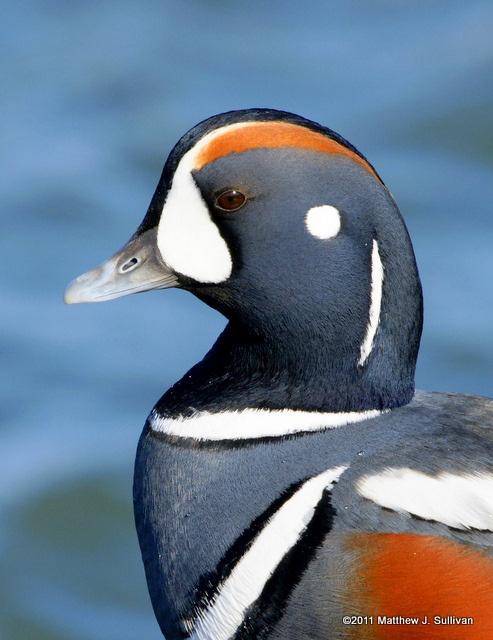 28 best Alberta Birds images on Pinterest | Ducks ... - photo#32