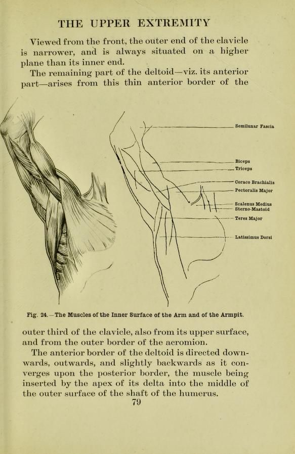 Muscles of the inner surface of the and and of the armpit, from ...
