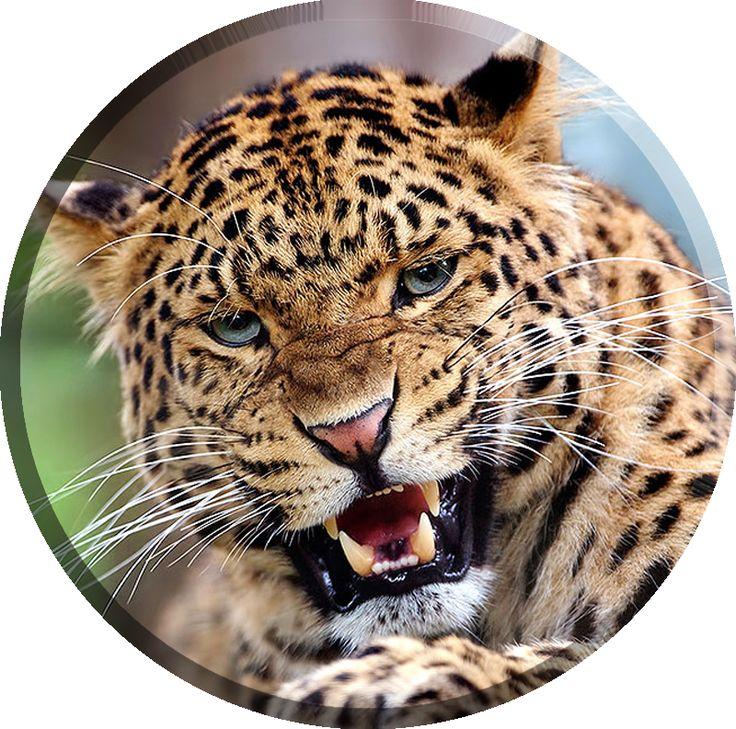 les 25 meilleures id es concernant jaguar noir sur pinterest. Black Bedroom Furniture Sets. Home Design Ideas