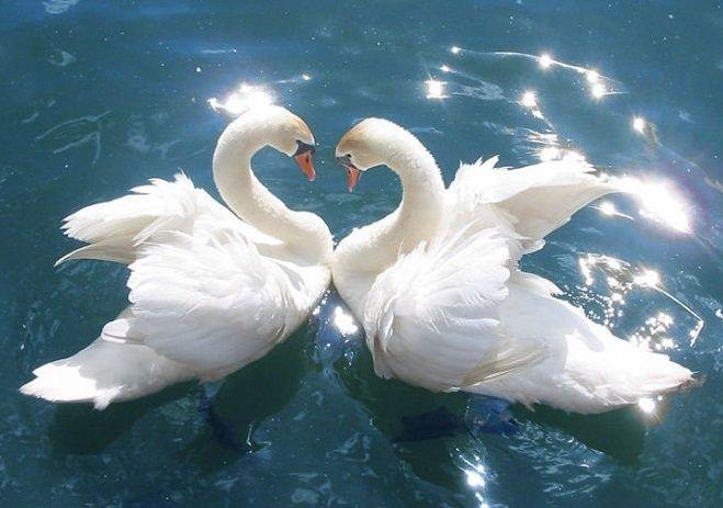 Google Image Result for http://api.ning.com/files/S*ICkeyKoyqcgqLxCu5WrCU1K8ImYgiURk7Q3TLR4KXM0zy*i8voAkAicHPPhzbXdMv07YtSNnDQZwFDvoBvjqMPWN1XBBii/SwansSpringLove.jpg: Swan Lakes, In Love, Black Swan, True Love, White Swan, Loggerhead Turtles, Broken Love, Photo, Cutest Animal