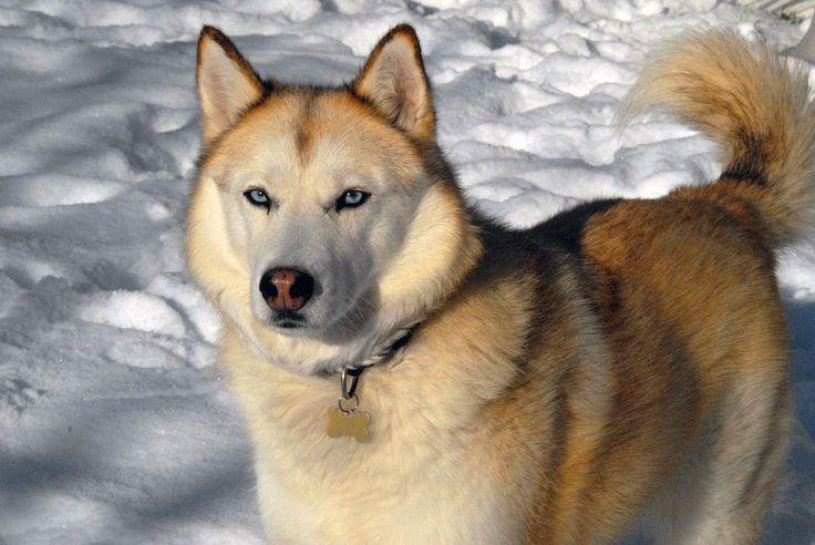 Siberian Husky sable - Husky de Sibérie — Wikipédia