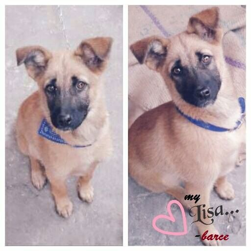 My lil belgian malinois,she passed away on aug 2015She was 10 months old then,hit by a running bike. i really love her and miss her . Please show her love. . Belgian Malinois is an awesome breed and surprisingly intelligent.Adopt them!!!