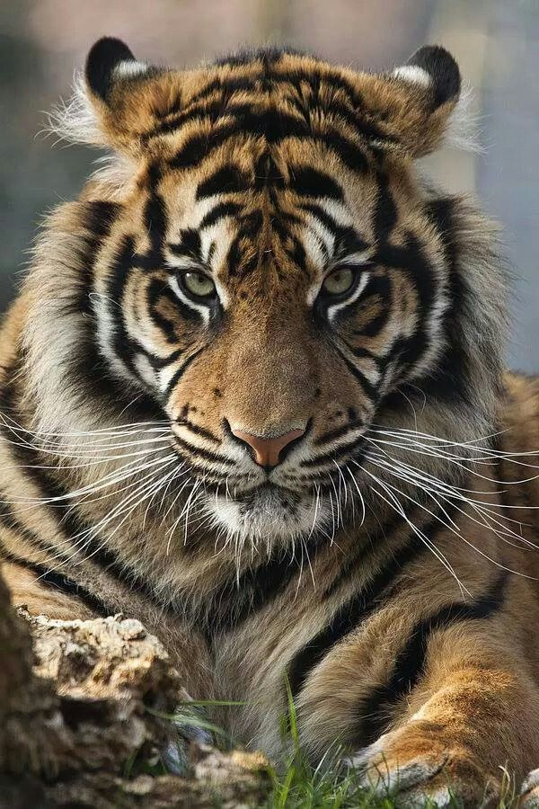 That's one sexy tiger.