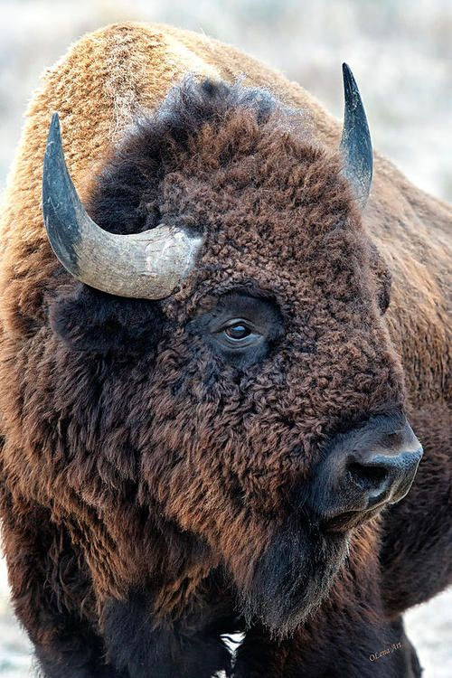 excellent photo of a bison wickwareboisseau: Merry Christmas from Big Wonderful Wyoming!!:)))