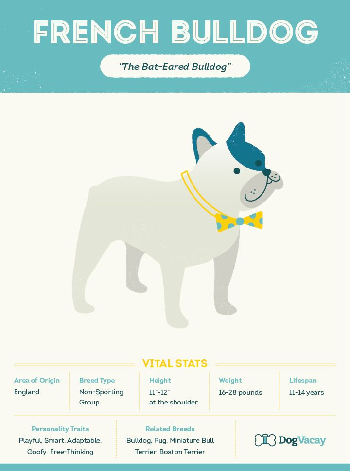 Breed Spotlight: Meet the French Bulldog!  Whether you call them Frenchies, Bullies, or Bat-eared pigs, these playful pups have a ton history, health, and playtime requirements to be aware of.   Click to read more about the French Bulldog.