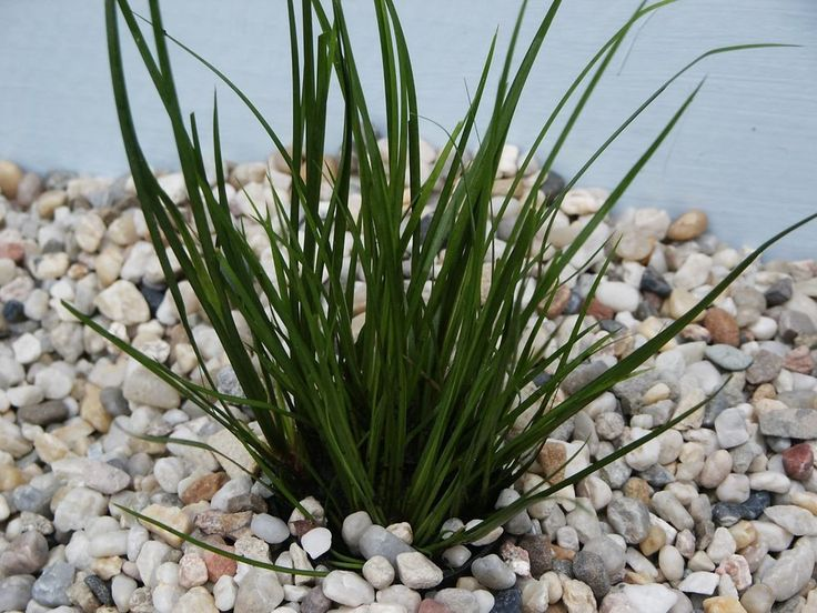 "Acorus gramineus var. "" Pussilus "" foreground aquarium plants"