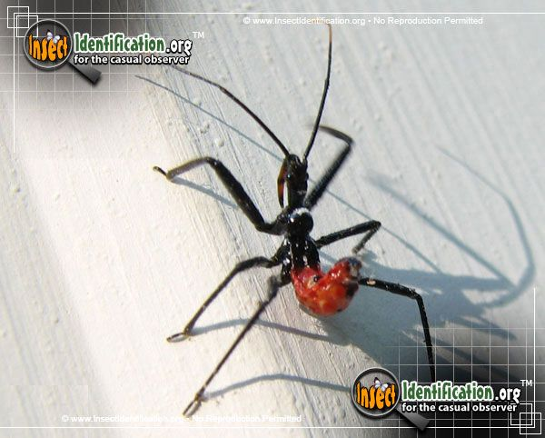 Assassin Bug - The wicked 'bite' of any Assassin Bug, juvenile or adult, is said to be extremely painful to humans.