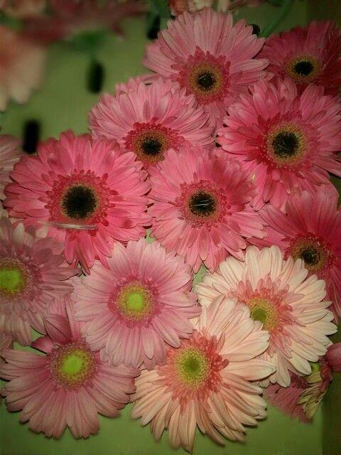 Beautiful pink gerberas in store.