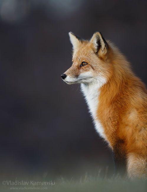 Just observing 365 days fox marathon Day 176 #365daysfoxmarathon #photography #cute