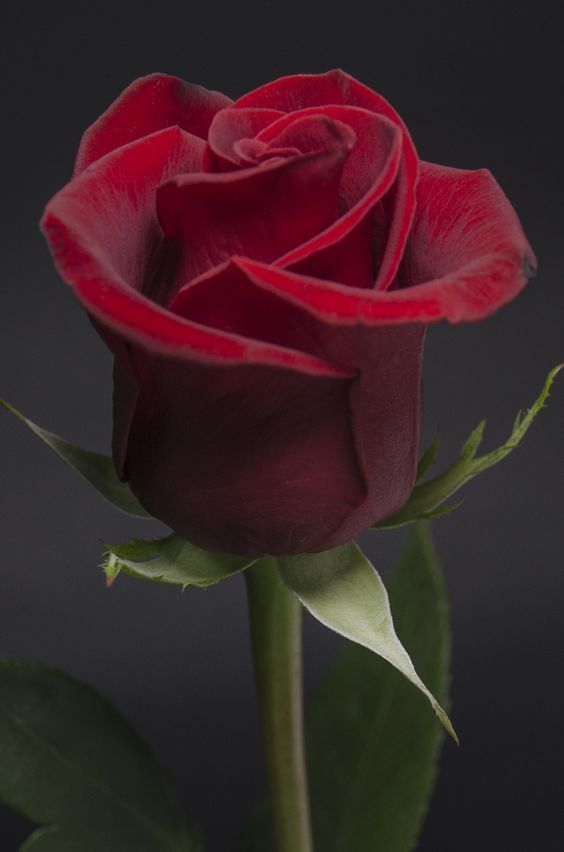 Lovely red rose...