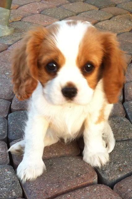 Little Cavalier so cute