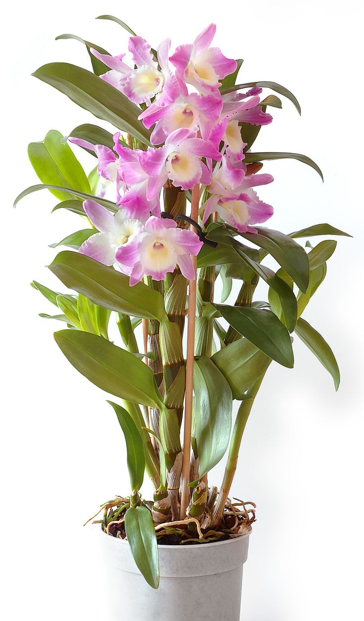dendrobium orchid. These are easy to look after, don't need much water but don't like draughts.