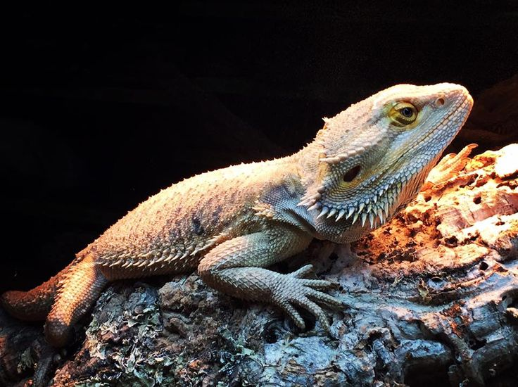 German Giant Bearded Dragon (photo copyright please do not use without permission)