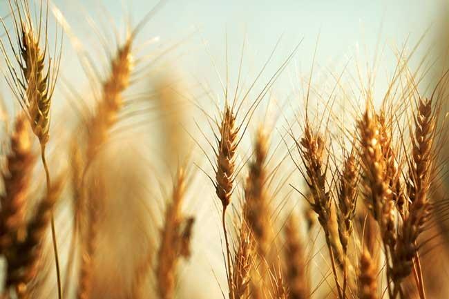 Пшеничные поля: примеры фотографий