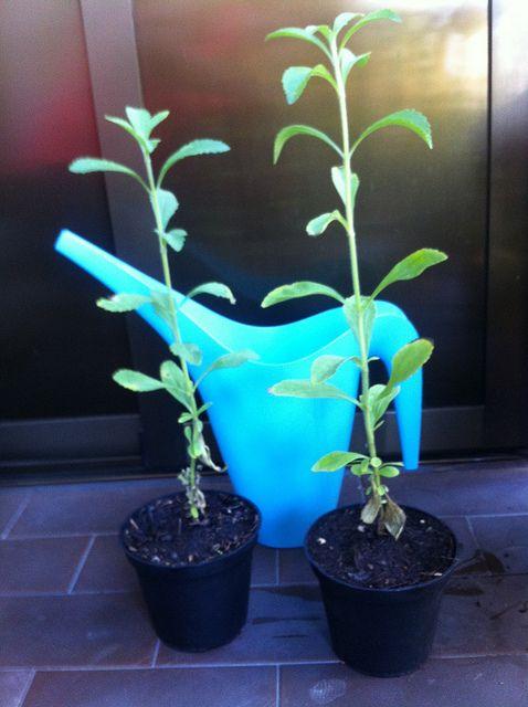 Planta viva de stevia.